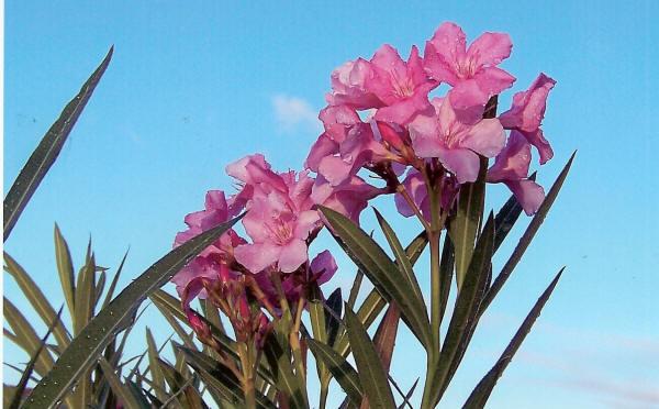 Rasmussen Flower